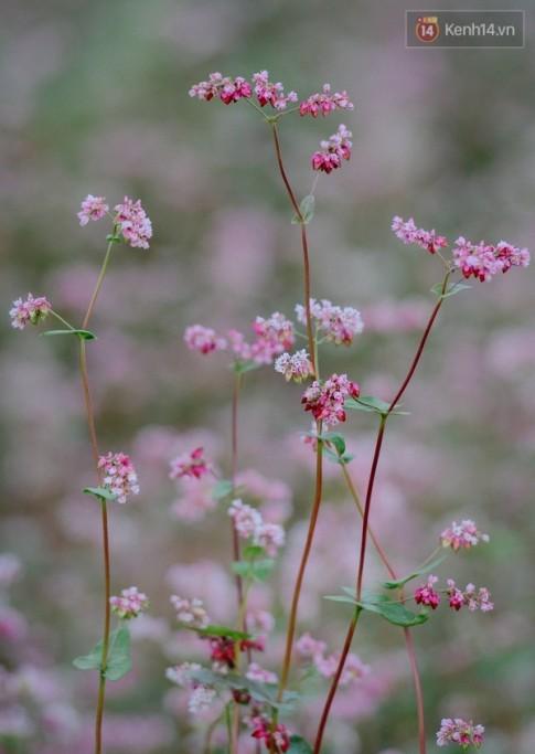 [Chùm ảnh] Không ở đâu có thể thấy hoa tam giác mạch đẹp như xứ Hà Giang