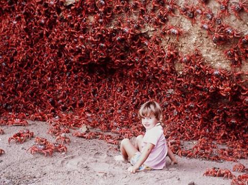 Australia xây cầu cho cua đỏ di cư