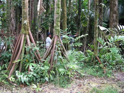 Bi an nhung cay co biet di trong rung Ecuador