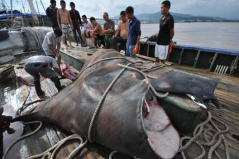 Cá đuối khổng lồ bị bắt tại Trung Quốc