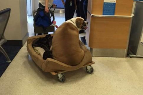 Chú chó béo bất ngờ nổi tiếng vì ngồi khoang hạng nhất