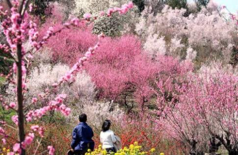 Đến Nhật Bản ngắm hoa anh đào ngày xuân