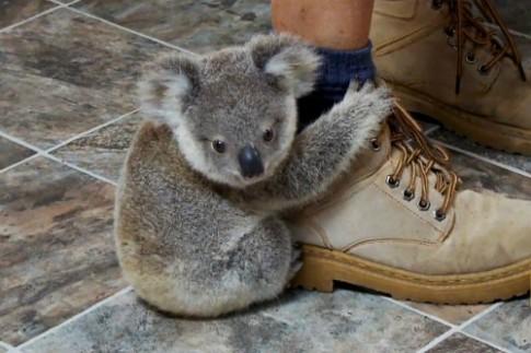 Gau koala leo len chan du khach vi tuong la than cay