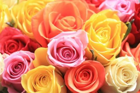 Hanh trinh cua hoa hong Ecuador cho ngay Valentine
