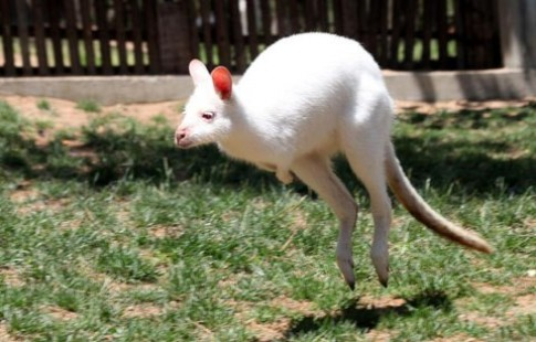 Kangaroo trang o Trung Quoc