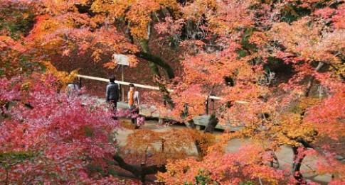 Khung canh rung la do ngap tran co do Kyoto