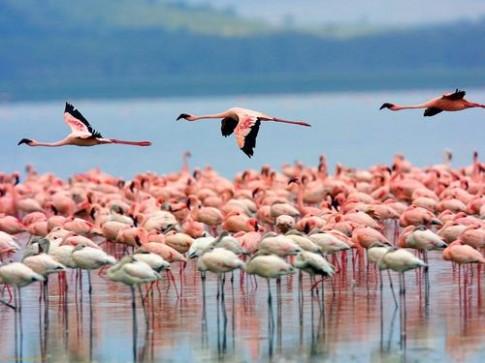 Mua chim hong hac di cu o Kenya