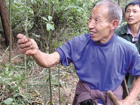 Nong dan Trung Quóc phá rùng tìm dong trùng hạ thảo