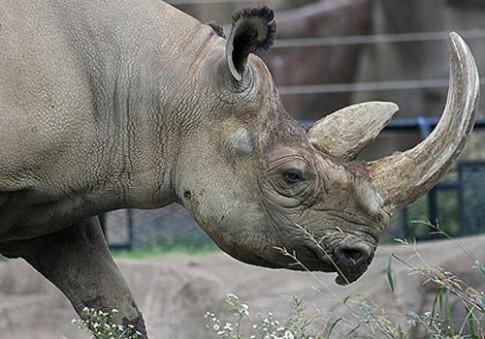 Việt Nam đề xuất tiêu hủy kho sừng tê giác bị thu giữ