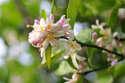 Kế hãm thủy giúp chanh ra hoa, đậu quả trĩu trịt
