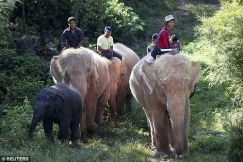 Đàn voi trắng 5 con cực hiếm được nuôi nhốt ở Myanmar