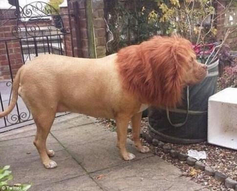Giật mình chú chó trông giống hệt sư tử