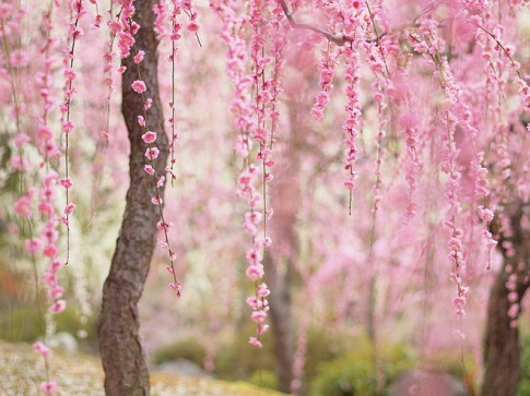 Sakura - loai hoa mang linh hon vo si dao