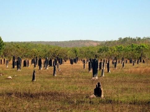 Tổ mối 'la bàn' ở Australia
