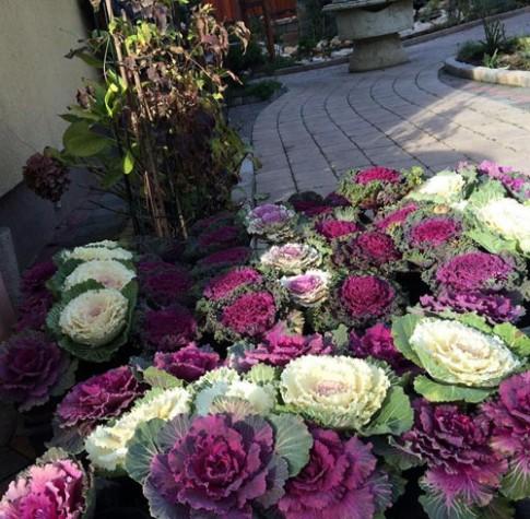 Mẹ Việt trồng bắp cải trong vườn, sang chẳng kém hoa hồng