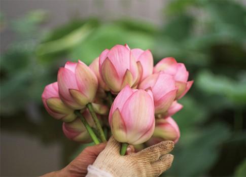 Tinh mắt chọn hoa sen chuẩn, tránh 'mua quỳ với giá sen'