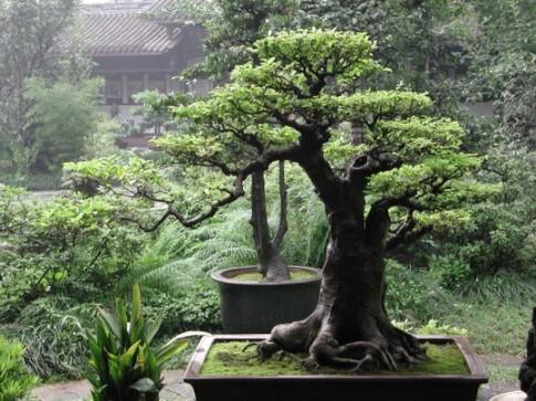 Trồng cây trước nhà cần lưu ý về phong thủy