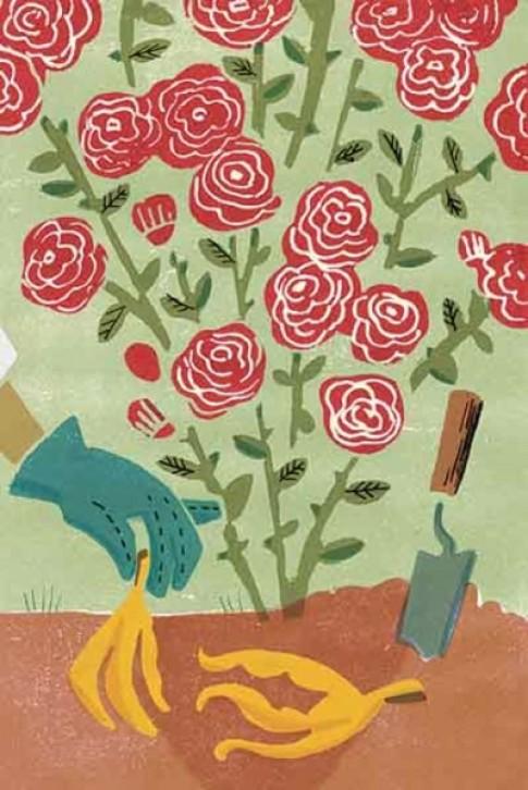 Đừng bỏ vỏ chuối đi vì đây là thuốc kích phọt cho vườn hồng nở rực rỡ