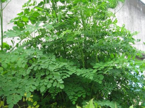 Mùa này, trồng ngay cây chùm ngây ngừa ung thư cực tốt, lấy rau ngon mát ăn suốt hè