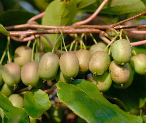 Mê mẩn trồng kiwi tí hon từ hạt cực đơn giản