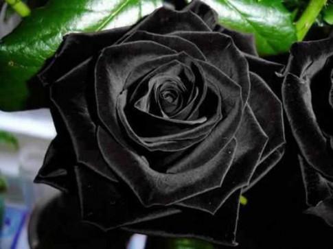 Sốt xình xịch trồng hoa hồng đen nở đúng hè
