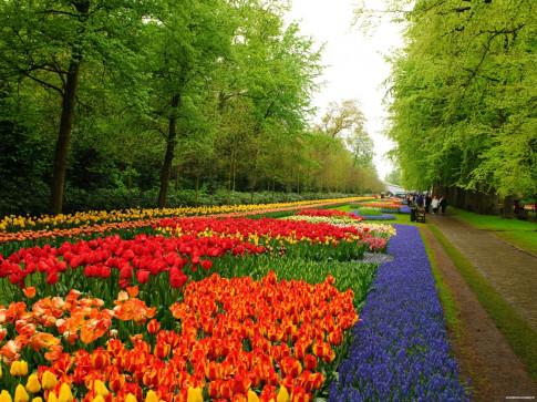 7 triệu cánh hoa Tulip đồng loạt khoe sắc trong lễ hội mùa xuân tại Hà Lan
