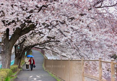 Hoa anh đào đang nở rộ cực lung linh tại Nhật Bản