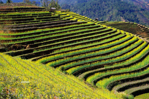 Lac vao xu so vang hoa Mu Cang Chai