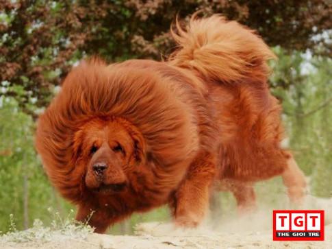 Những thông tin về chó Ngao Tây Tạng đang được mua nhiều nhất hiện nay