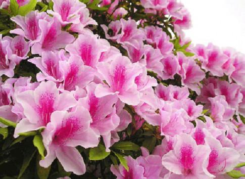 Cach trong hoa do quyen va ky thuat cham soc ra hoa dep