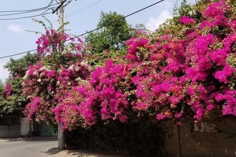 Cach trong cay Hoa Giay dep cho ra hoa quanh nam