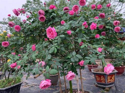 Cach trong hoa hong co Sapa cho hoa no cang to nhu bat com, ruc ro goc vuon